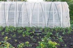 Sprinkler watering potatoes in garden Stock Images