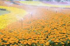 Free Sprinklers Watering The Flowers Stock Photography - 24978202