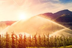 Sprinklers watering vineyard at sunrise morning. Irrigation system Stock Photo