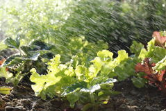 Sprinklers on young lettuce. Sprinklers watering a home grown vegetable garden containing lettuce Stock Photo