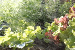Sprinklers on young lettuce Stock Photo