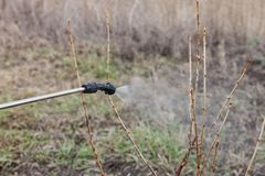 Sprinkling of currant with fungicide. Sprinkling of currant bushes with fungicide in early spring stock photos