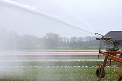 Sprinkling of Dutch hyacinths field due to drought Stock Photos