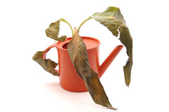 Sprinkling pot with dry plant. Danger drought Royalty Free Stock Images