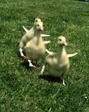 Sprint del Gosling immagini stock