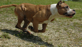 Sprint Dog Stock Image