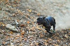 Sprinta den franska bulldoggen royaltyfri fotografi