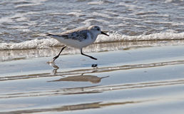 Sprinta Sanderling Arkivfoton