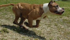 Sprinten Sie Hund stockbild