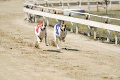 Sprintende dynamische Windhunde auf der Rennbahn lizenzfreie stockfotos