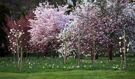 Sprintime bloeiende bomen Royalty-vrije Stock Afbeeldingen