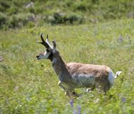 Sprinting antelope. Pronghorn antelope in a full spring in spring royalty free stock image