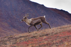 Sprinting Caribou. Caribou running down a hillside in Denali National Park, Alaska, USA royalty free stock photo