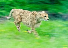 Sprinting Cheetah. A cheetah shows her speed (takein in Oregon Wildlife Safari stock images