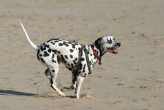 Sprinting Dalmatian imagens de stock