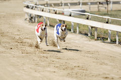 Sprinting dynamic greyhounds on the race course royalty free stock photos