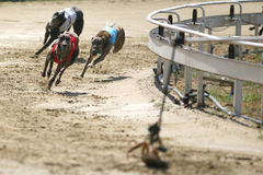 Sprinting dynamic greyhounds on the race course Stock Photo