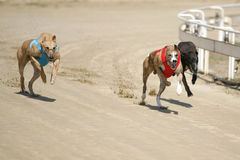 Sprinting dynamic greyhounds on the race course Stock Photography