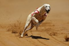 Sprinting greyhound Royalty Free Stock Photos