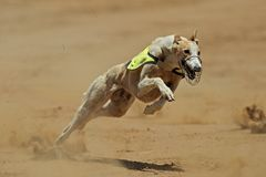 Sprinting greyhound Stock Image