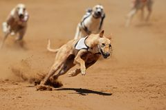 Sprinting greyhound Royalty Free Stock Photography