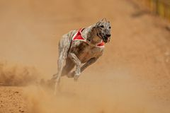 Sprinting greyhound Royalty Free Stock Photo
