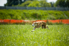 Sprinting free greyhound Royalty Free Stock Image