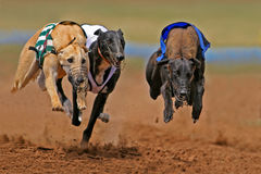 Sprinting greyhounds Stock Images