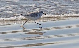 Sprinting Sanderling Стоковые Фото