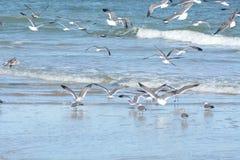 Sprints do rebanho da gaivota ao tímido quando surpreendido por algo na costa imagens de stock royalty free