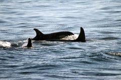 Spritzen des Schwertwales Stockfotos