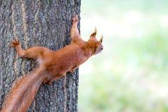 Spritzende Blicke des kleinen Nagetiers heraus auf einem Baumstamm Lizenzfreies Stockfoto