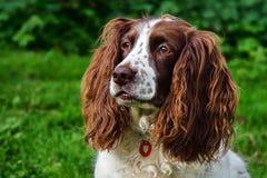 Sprocker西班牙猎狗 库存照片