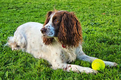 Sprocker西班牙猎狗 免版税库存照片
