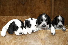 Sprocker Puppies. Beautiful Blue Roan Sprocker puppies, a new breed in the UK Stock Images