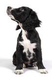 sprocker spaniel puppy looking up Stock Photo