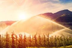 Sproeiers die wijngaard water geven bij zonsopgangochtend Irrigatiesysteem stock foto