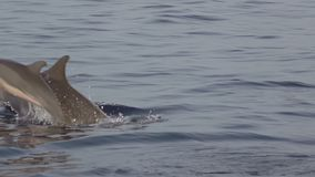 Sprong van Volwassen en Jonge Dolfijnen Langzame Motie stock video