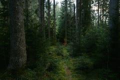 Sprookjesleep in donkergroen oerwoud van pijnboombomen royalty-vrije stock afbeelding