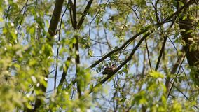 Sprosser or Thrush nightingale (Luscinia luscinia) sitting on a branch and sings a song