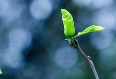 Sprout Royalty Free Stock Photography