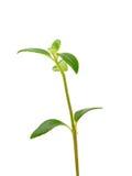 Sprout Imagem de Stock Royalty Free