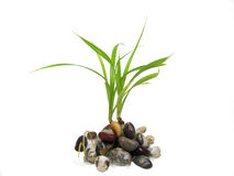 Sprout. The sprout grows from stones on a white background Royalty Free Stock Photos