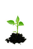 Sprout. Green sprout with soil isolated on white Stock Images