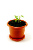 Sprout Royalty Free Stock Photo