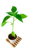 Sprout. The green plant of pepper growing in glass Stock Image