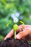 Sprout of Afzelia xylocarpa and human hand Stock Photo