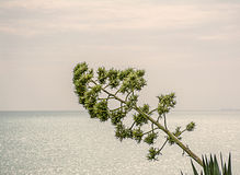 Sprout of agave on the sea background Stock Photo