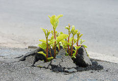 Sprout through asphalt Royalty Free Stock Photo