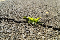 Sprout on asphalt Royalty Free Stock Image